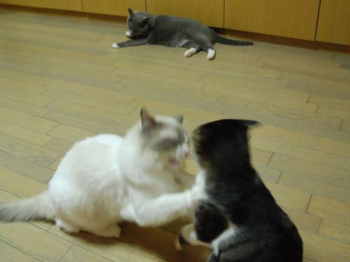 20100814azukiluke4