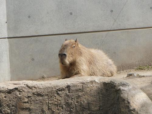 20120807kapibara